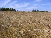 Golden ears of ripe Siberian wheat in the boundless field are ripe stock image