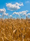 Golden ears of ripe wheat on a background of blue sky with fluffy clouds. It`s time to harvest. For your design royalty free stock photo