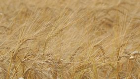 Golden ears of ripe wheat. Selective focus stock video footage