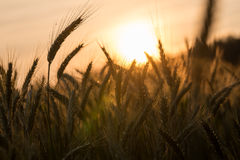 Golden ears of ripening wheat in a wheatfield Stock Images
