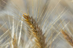 Golden ears rye, sunshine Royalty Free Stock Image