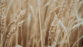 Golden ears are slowly swaying in the wind close-up. View of ripening wheat field at summer day. Agriculture industry