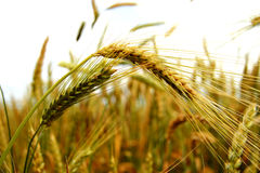 Golden ears on the summer field before harvest Royalty Free Stock Photos
