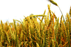 Golden ears on the summer field before harvest Royalty Free Stock Photography