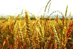 Golden ears on the summer field before harvest Stock Photo