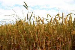 Golden Ears On The Summer Field Before Harvest Stock Images