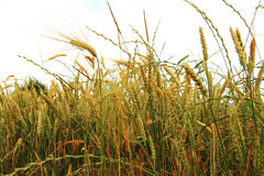 Golden Ears On The Summer Field Before Harvest Royalty Free Stock Photo