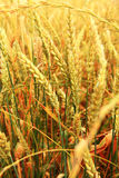 Golden Ears On The Summer Field Before Harvest Stock Image