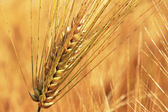 Golden Ears On The Summer Field Before Harvest Royalty Free Stock Image
