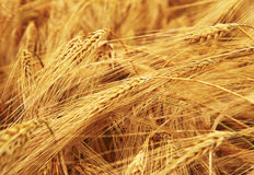 Golden Ears On The Summer Field Before Harvest Stock Photography