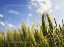 Golden ears of wheat Royalty Free Stock Images