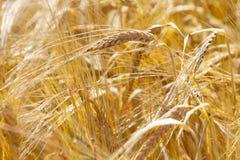 Golden ears of wheat Stock Photo