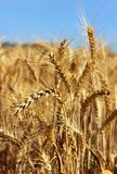 Golden ears of wheat Stock Image