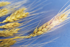 Golden ears of wheat against the blue background, closeup.  Stock Images