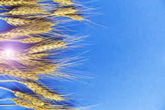 Golden ears of wheat against the blue background, closeup.  Stock Image