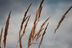 Golden ears of wheat against the cloudy sky close-up. Autumn yellow rye looks at the sky royalty free stock photography
