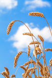 Golden Ears Wheat Royalty Free Stock Photos