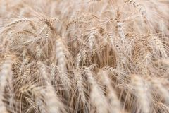 Golden ears of wheat close-up. Wheat field stock image