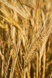 Golden ears of wheat stock photos