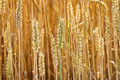 Golden ears of wheat. Royalty Free Stock Photography