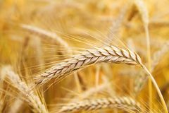 Golden ears of wheat Stock Photography