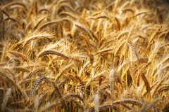 Golden ears of wheat Royalty Free Stock Image