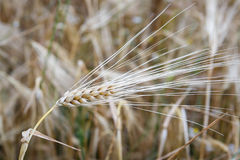 Golden ears of wheat Stock Photos