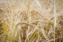 Golden ears of wheat Royalty Free Stock Photos