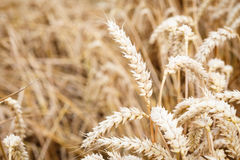 Golden ears of wheat Royalty Free Stock Photography