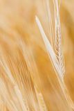 Golden ears of wheat in field Royalty Free Stock Photography