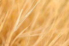 Golden ears of wheat in field Stock Photo