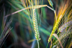 Golden ears of wheat on the field Royalty Free Stock Photos