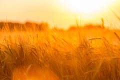 Golden ears of wheat on the field Royalty Free Stock Photography