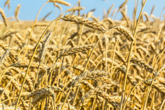 Golden ears of wheat in the field, macro Royalty Free Stock Photography