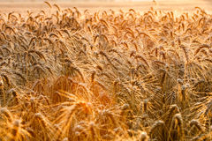 Golden ears of wheat on the field Stock Image