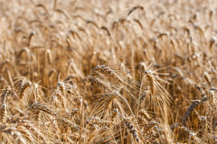 Golden ears of wheat on the field Royalty Free Stock Image