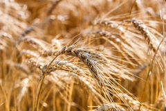 Golden ears of wheat on the field Stock Photos