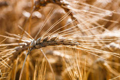 Golden ears of wheat on the field Royalty Free Stock Images