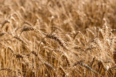 Golden ears of wheat on the field Royalty Free Stock Photo