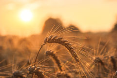 Golden ears of wheat on the field Stock Photography