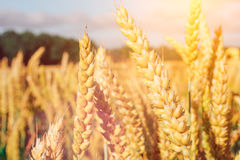 Golden ears of wheat on the field with some green trees in background Royalty Free Stock Photos