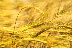 Golden ears of wheat in the field stock photos