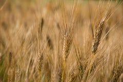 Golden ears of wheat on a field in summer. Golden ears of wheat on a field royalty free stock photos