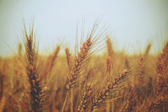 Golden ears of wheat on the field - vintage Stock Photography