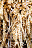 Golden ears of wheat Royalty Free Stock Photo