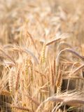 Golden ears of wheat in summer on the field. royalty free stock photography