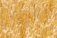 Golden ears of wheat in summer on the field. Agriculture royalty free stock photography
