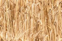 Golden ears of wheat in summer on the field. Wheat Background. Agriculture stock photos
