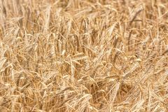 Golden ears of wheat in summer on the field. Wheat Background. Agriculture royalty free stock image