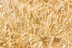 Golden ears of wheat in summer on the field. Wheat Background. Agriculture royalty free stock photography